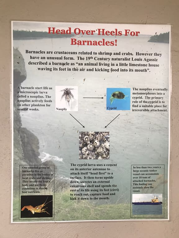 "Poster aout barnacles. Intro text reads, ""Head over heels for barnacles! Barnacles are crustaceans related to shrimp and crabs. However they have an unusual form. The 19th century naturalist Louis Agassiz described a barnacle as ""an animal living in a little limestone house waving its feet in the air and kicking food into its mouth."""