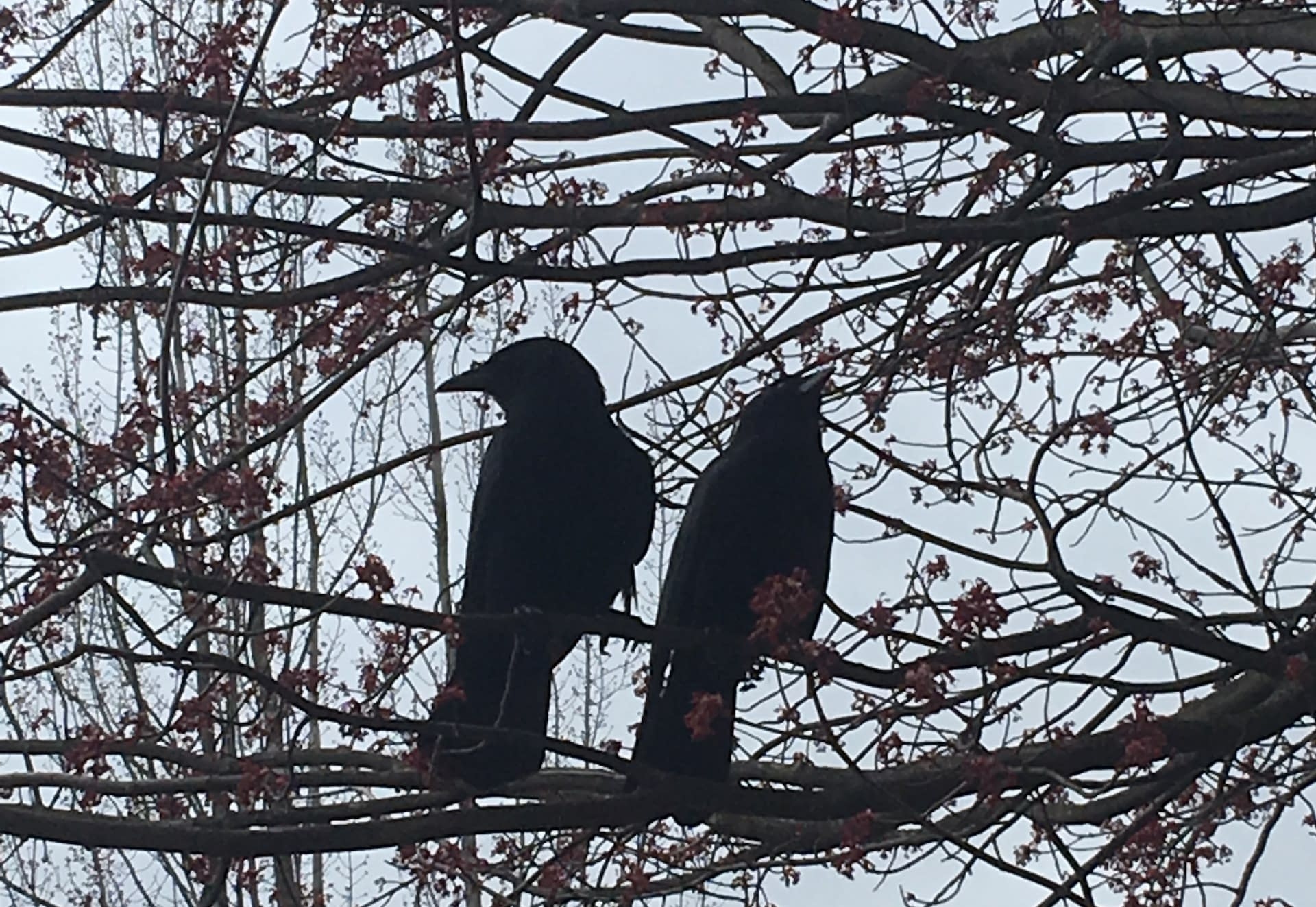 My Favorite Bird: Crows!