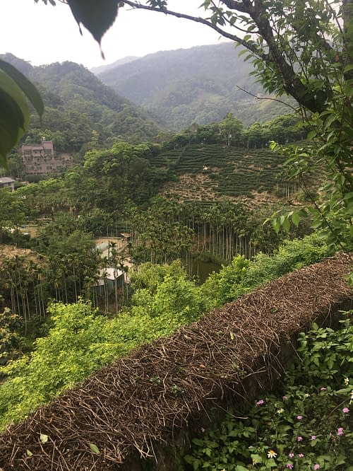 View from a hiking trail in Pinglin, Taiwan. Tea fields and palm trees in the distance, flowers and foliage in the foreground.