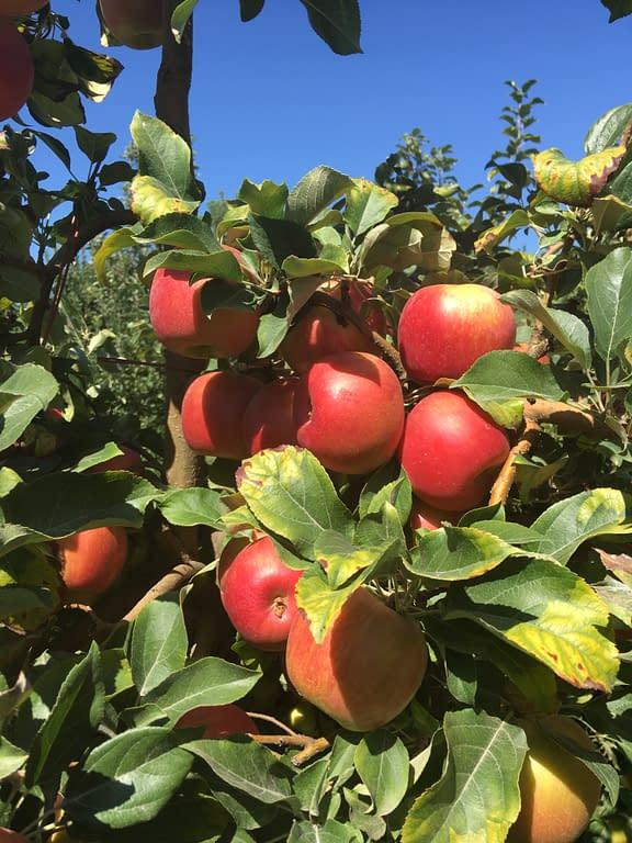 Trees full of red honeycrisp apples
