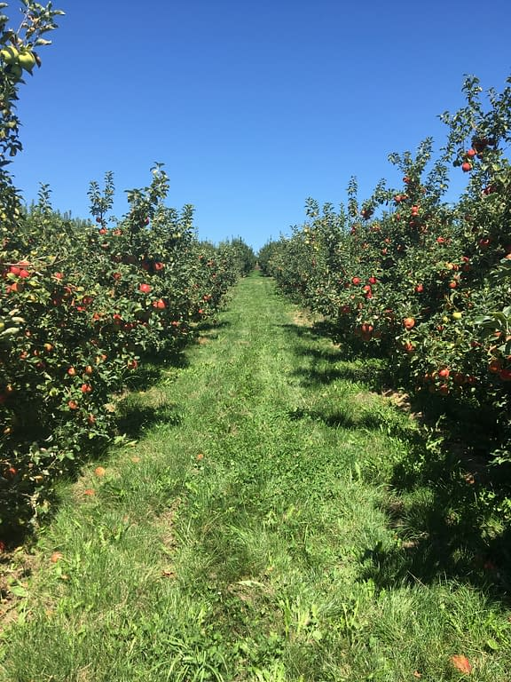 Long rows of apple trees separated by grassy walkways, underneath a bright blue sky
